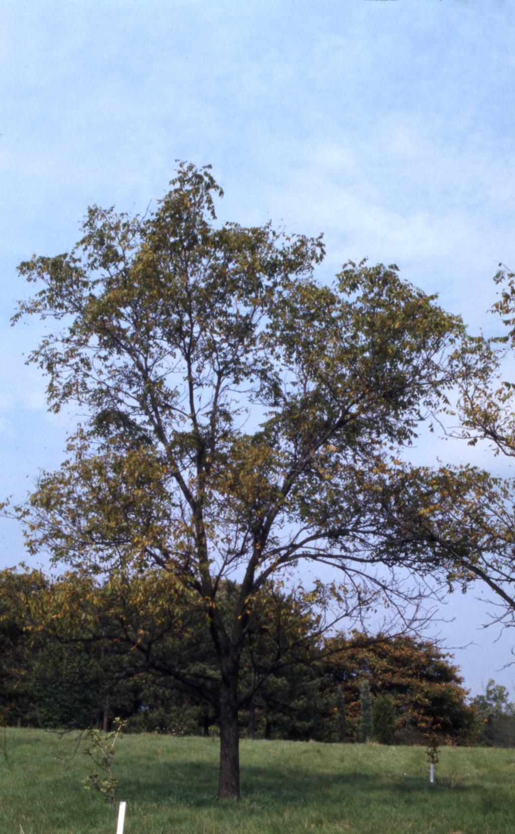 Juglans nigra (black walnut), fall