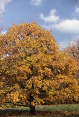 Acer campestre var. austriacum (Austrian hedge maple), fall color
