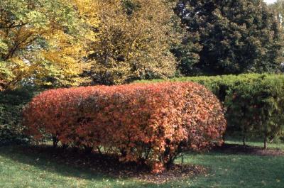 Acer ginnala 'Compactum' (Dwarf Amur maple), fall color