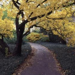 Acer ginnala (Amur maple), along paved path near Administration Building in fall