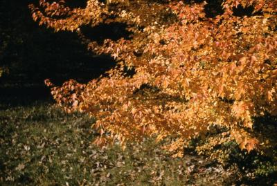 Acer buergerianum (trident maple), leaves in fall
