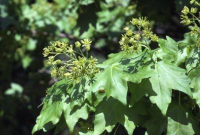 Acer campestre var. austriacum (Austrian hedge maple), flowers and leaves