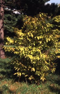 Acer carpinifolium (hornbeam maple)