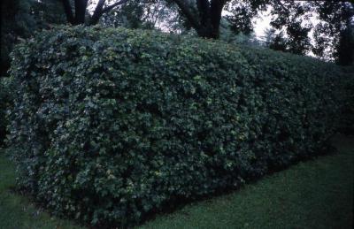 Acer campestre (hedge maple), summer
