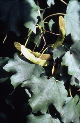 Acer campestre (hedge maple), fruit and leaves