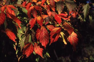 Acer cissifolium (ivy-leaved maple), leaves with fall color