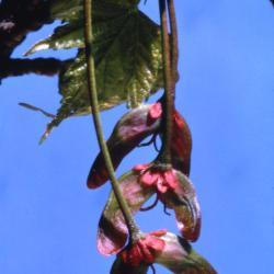Acer (maple), fruit