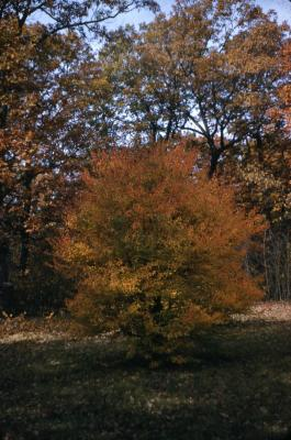 Acer buergerianum (trident maple), fall color