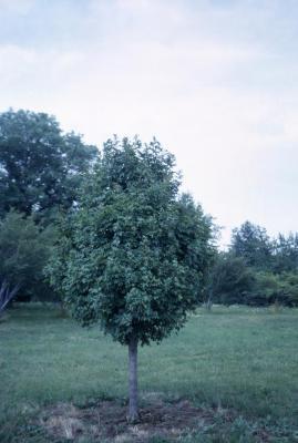 Acer campestre (hedge maple)