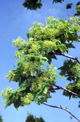 Acer campestre (hedge maple), flowers and leaves