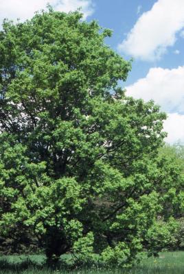 Acer campestre var. austriacum (Austrian hedge maple)
