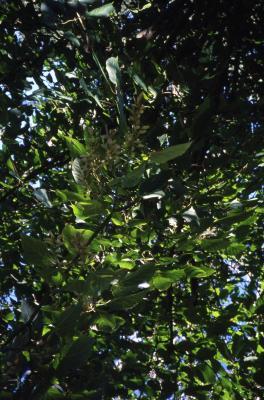 Acer forrestii (Forrest's maple), leaves