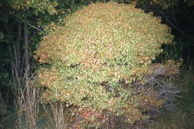 Acer ginnala 'Durand Dwarf' (Durand Dwarf Amur maple)