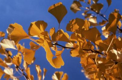 Ginkgo biloba (ginkgo), twig with leaves in fall