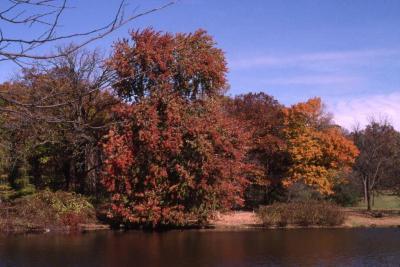 Acer x freemanii (Freeman's maple), along Lake Marmo showing fall color