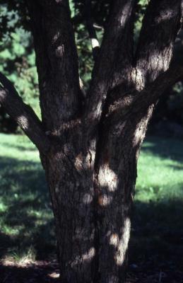 Acer campestre (hedge maple), bark