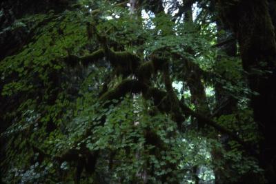 Acer circinatum (vine maple), summer