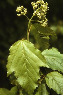 Acer ginnala (Amur maple), flower