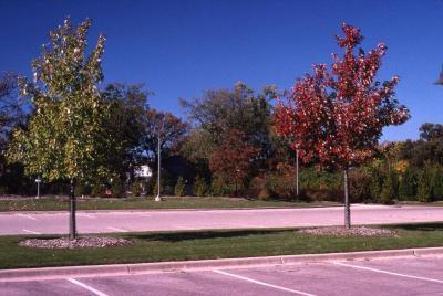 Acer x freemanii 'Marmo' (Marmo Freeman's maple) and Acer x freemanii 'Jeffersred' (Autumn Blaze Freeman's maple), Thornhill parking lot