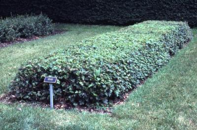 Acer campestre (hedge maple), seedlings bed