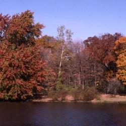 Acer x freemanii (Freeman's maple) and Acer saccharum (sugar maple), along Lake Marmo showing fall color