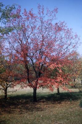 Acer ginnala (Amur maple), fall