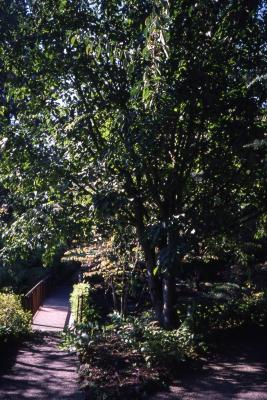 Acer forrestii (Forrest's maple)