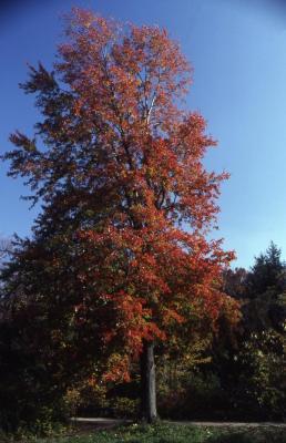 Acer x freemanii 'Marmo' (Marmo Freeman's maple), fall color