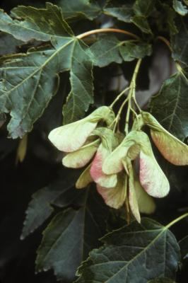 Acer x freemanii (Freeman's maple), fruit