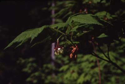 Acer circinatum (vine maple), flower in summer