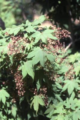 Acer campbellii subsp. flabellatum (fan-leaf maple), leaves and flowers