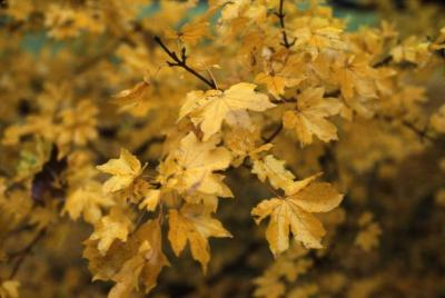 Acer campestre (hedge maple), leaves showing fall color