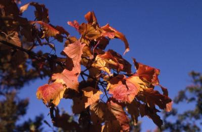 Acer ginnala (Amur maple), leaves