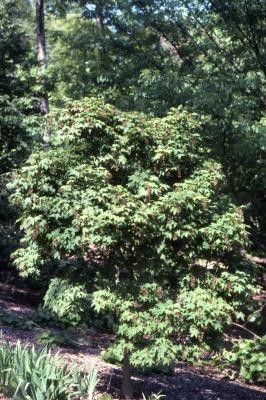Acer campbellii subsp. flabellatum (fan-leaf maple)