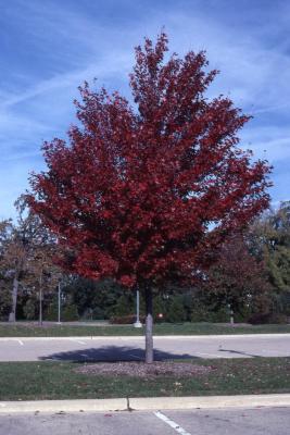 Acer x freemanii 'Jeffersred' (Autumn Blaze Freeman's maple), fall