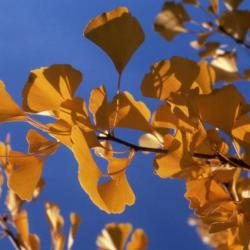 Ginkgo biloba (ginkgo), leaves