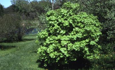 Acer grandidentatum (big-toothed maple), summer