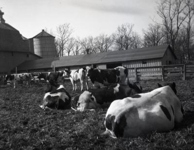 Home Farm cattle and buildings