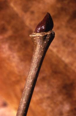 Platanus occidentalis (sycamore), bud at end of twig
