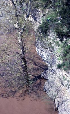 Platanus occidentalis (sycamore,) in river