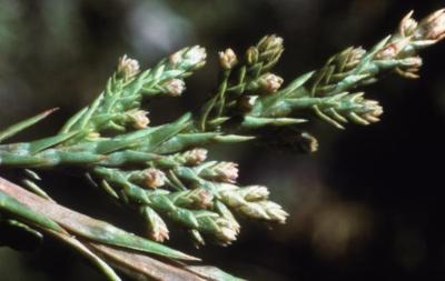 Juniperus virginiana var. crebra (eastern red-cedar), leaves and male cones