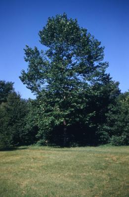 Platanus occidentalis (sycamore)