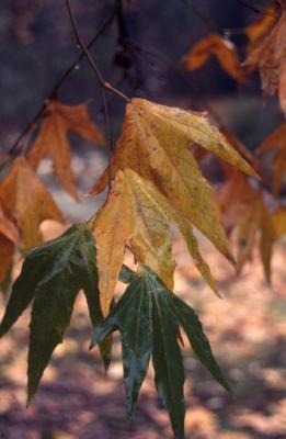 Platanus racemosa (California sycamore), leaves