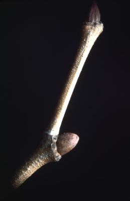 Platanus occidentalis (sycamore), twig with buds