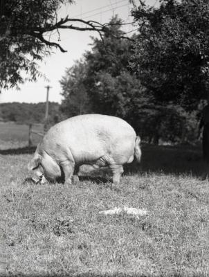 """""""Lisle Lilly"""" sow grazing in field"""
