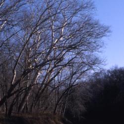 Platanus occidentalis (sycamore), mature trees on creek bank