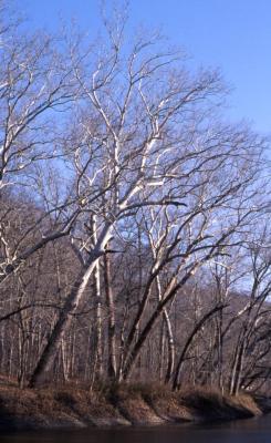 Platanus occidentalis (sycamore), bare trees near creek