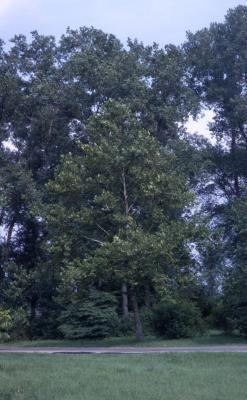 Platanus occidentalis (sycamore), summer