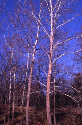 Platanus occidentalis (sycamore), autumn