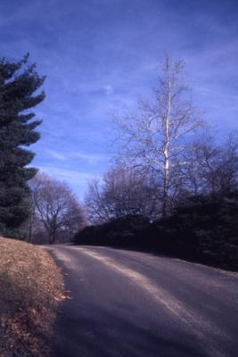 Platanus occidentalis (sycamore), bare tall tree near road